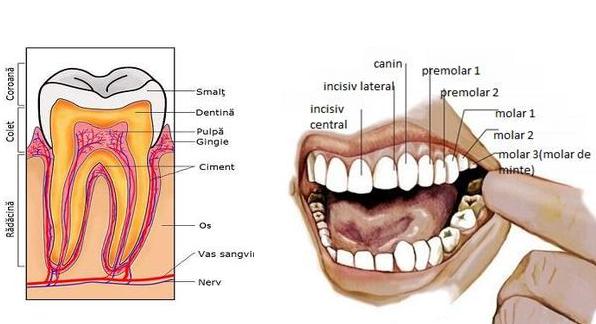 Tot ce trebuie să știi despre structura dintelui!